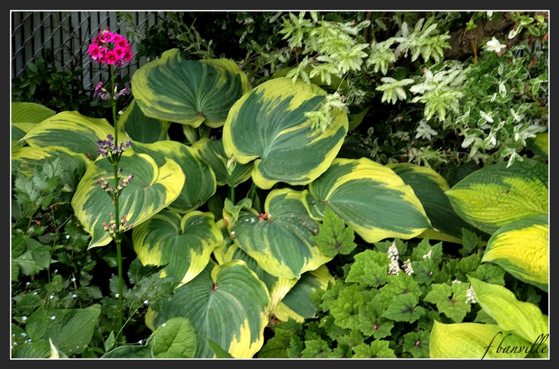 Hosta Earth Angel, le hosta de l'année 2009 IMG_4781