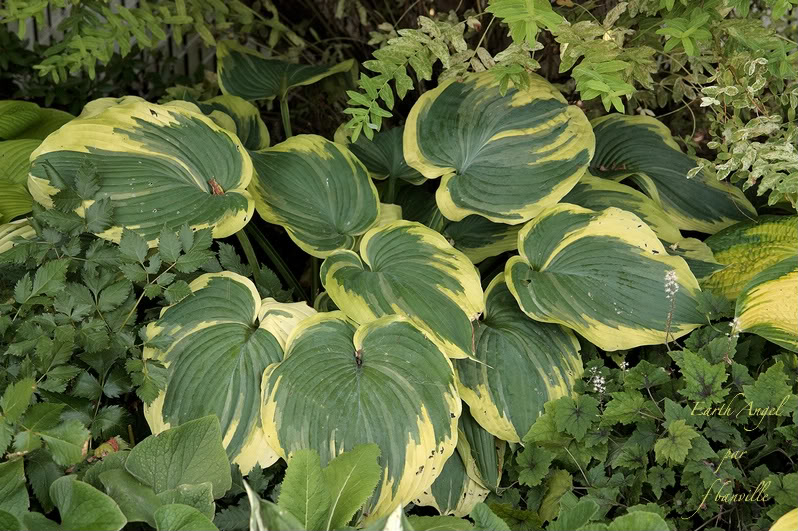 Hosta Earth Angel, le hosta de l'année 2009 IMG_7395