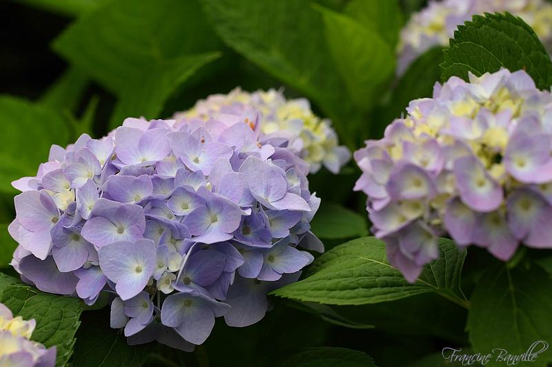 Floraison des Hydrangeas 'Endless Summer Collection' la clef du succès. - Page 2 IMG_4248_filtered_zpsefc742e8