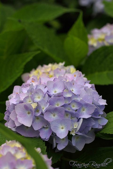 Floraison des Hydrangeas 'Endless Summer Collection' la clef du succès. - Page 2 IMG_4251_filtered_zpsbe70f0cf