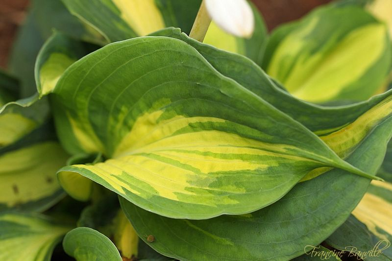 Hosta Dream Weaver IMG_4770_filtered_zpsb6b1a18f