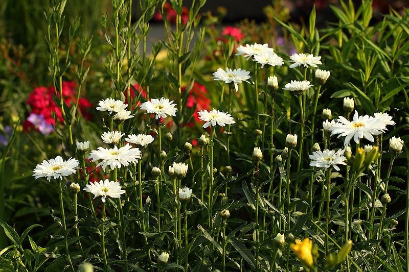 Leucanthemum Thomas Killen IMG_4950_filtered_zps837960c4