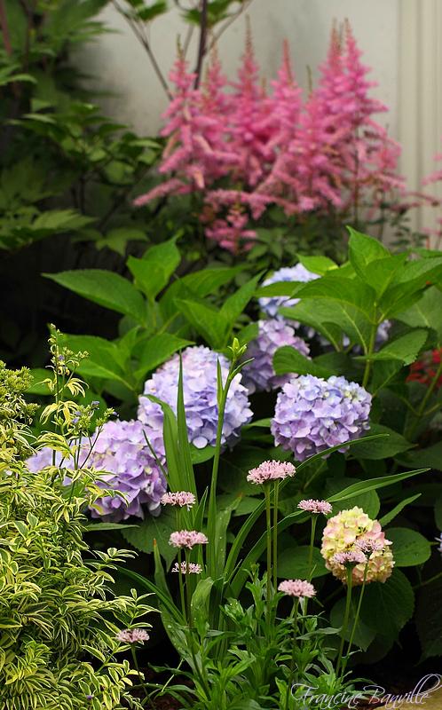 Floraison des Hydrangeas 'Endless Summer Collection' la clef du succès. - Page 2 IMG_5141_filtered_zpsadcedc05