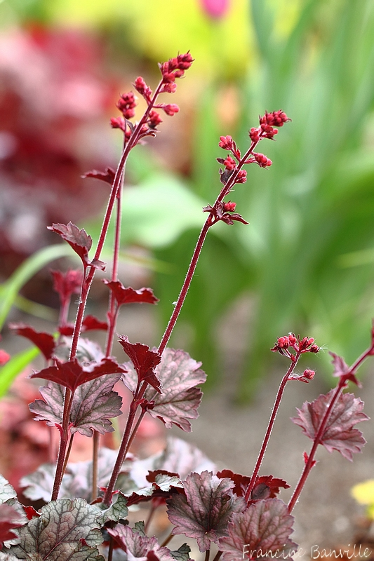 Heuchera Rave On IMG_0983_filtered_zps37c49870