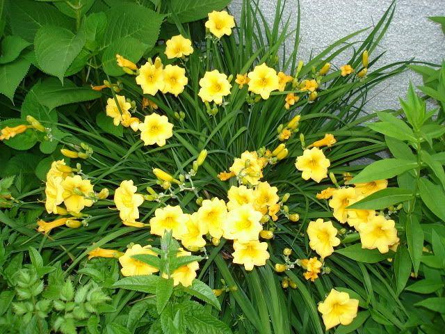 Vous dites Salvia ou Veronica pour longue floraison ? StellaDeOro26juin06