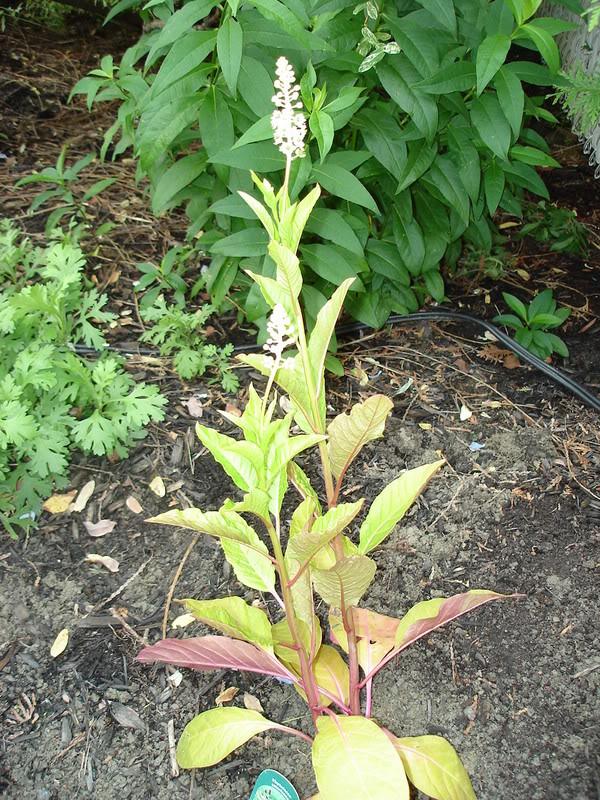 Phytolacca Americana - Raisin d'Amérique 11juillet07025