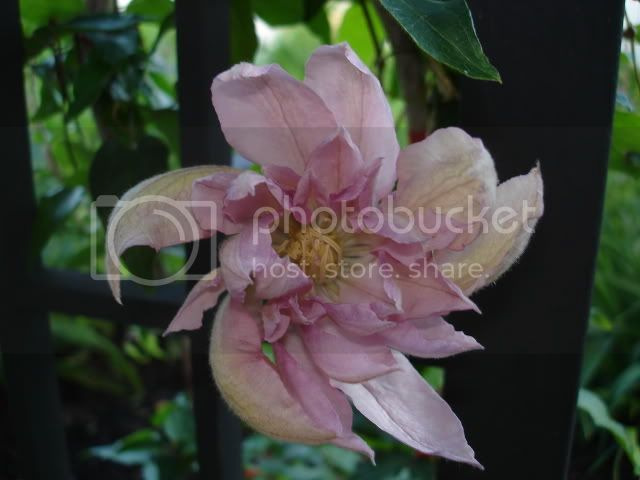Clematite Pink Champagne ClematiteVyvianPennell01juin06