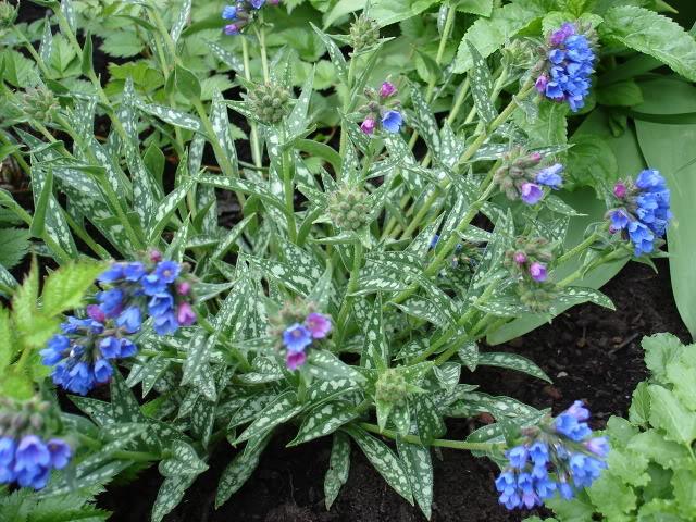 Pulmonaire PulmonaireLongifolia15mai06