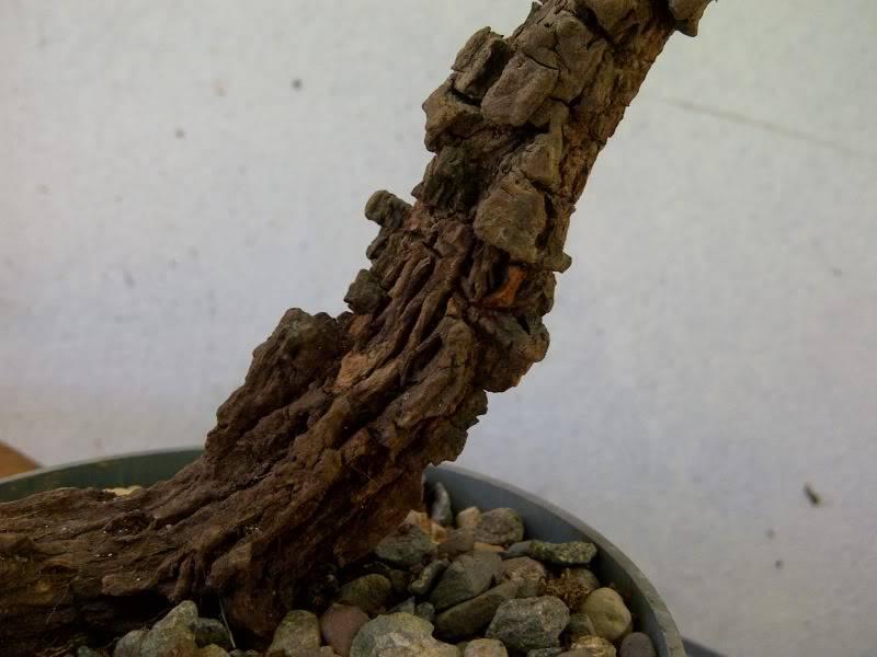 cork bark on a ixora... Utf-8BSU1HLTIwMTEwNDE5LTAwMDEzLmpwZw