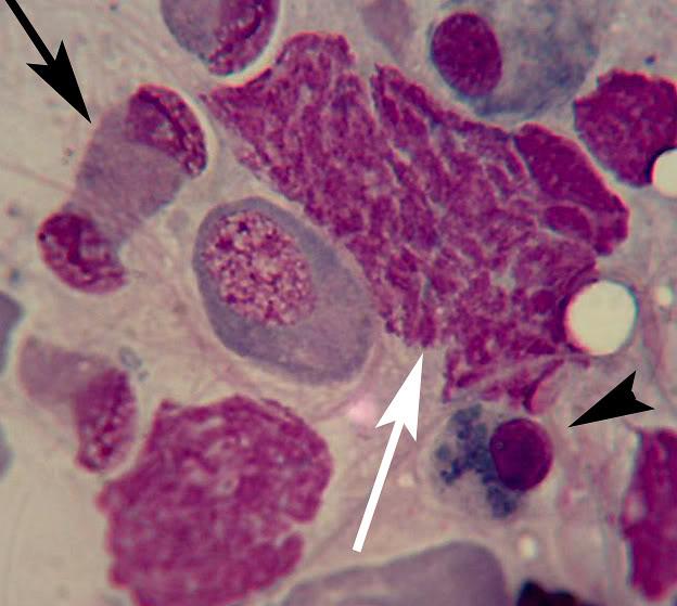 Rat touch prep slides (Spleen, Mesentery, Testes) _Ptest_14