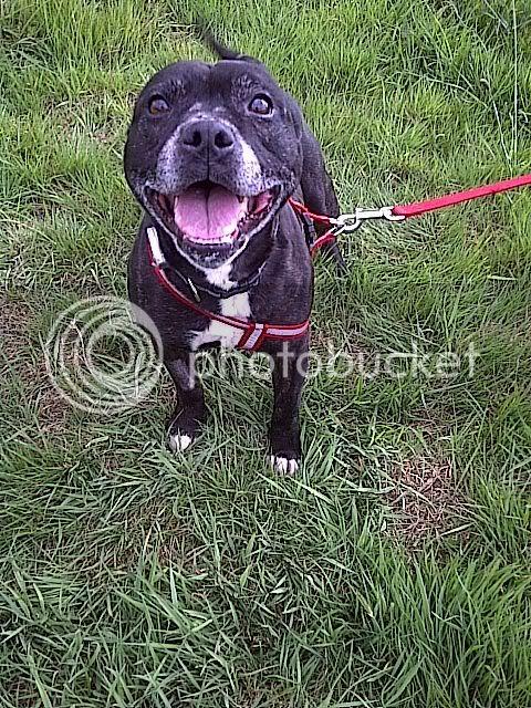 'Arry Gorgeous Staffie Gentleman - Rochdale Dog Rescue Arry202