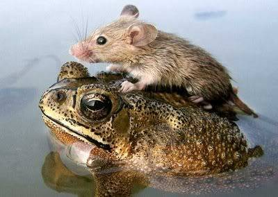 Great Photos thread - Page 3 Mouse_and_frog_2