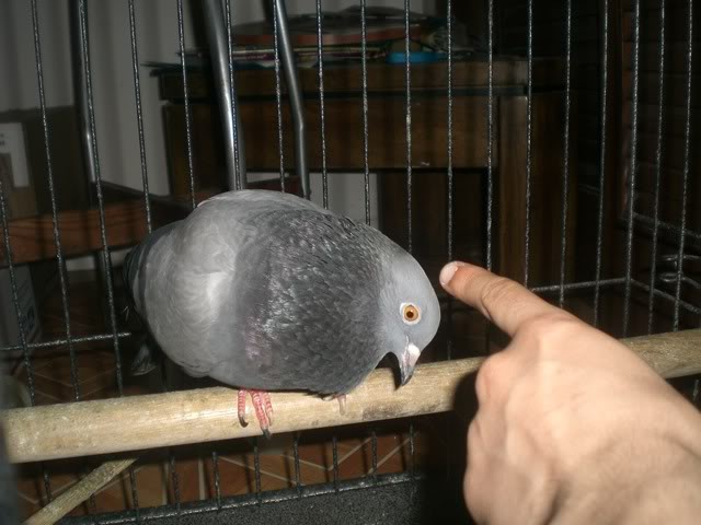 Pigeons in need of foster/adoption in Philadelphia, PA (US) CIMG6578