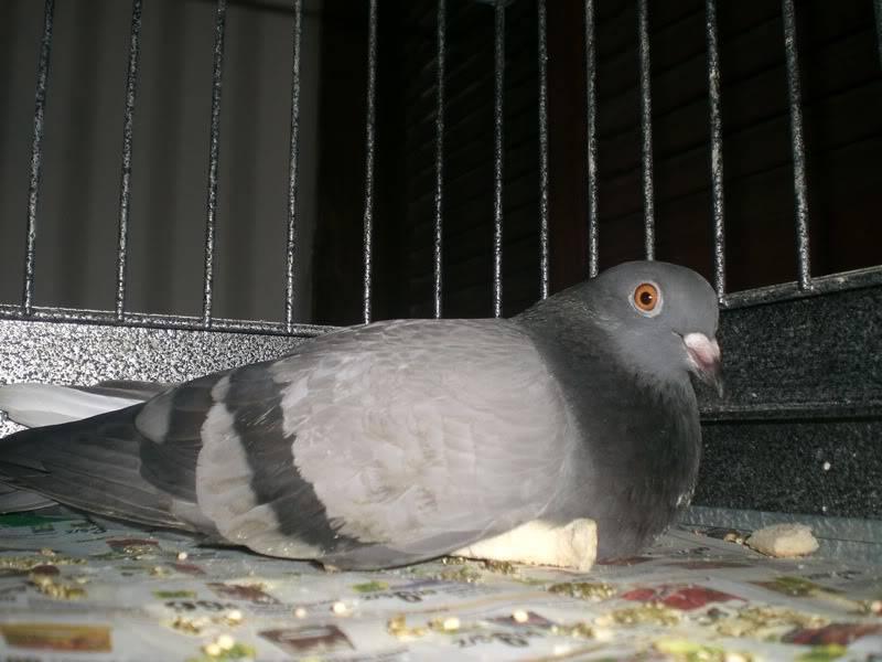 Pigeon stays kneeled down CIMG9029s