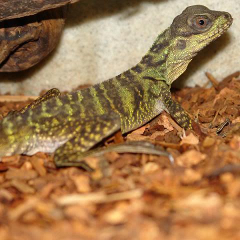 FS: hydrosaurus pustulatus / Sailfin Dragon (juvinile) - Philippines 1