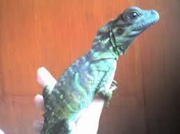 FS: hydrosaurus pustulatus / Sailfin Dragon (juvinile) - Philippines 2