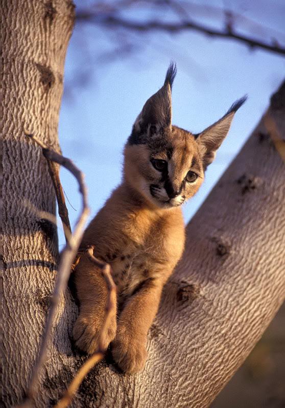 ملف عن تربية القطط  وبعض الحيوانات الاخرى  Caracal