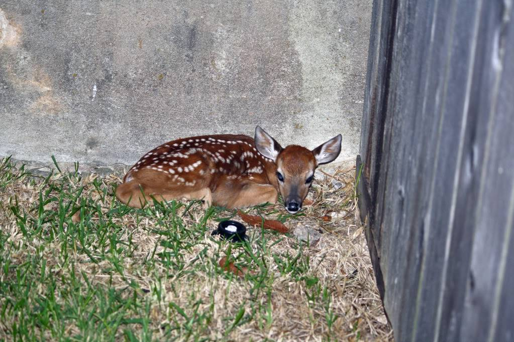 Does are starting to drop! BabyDeer