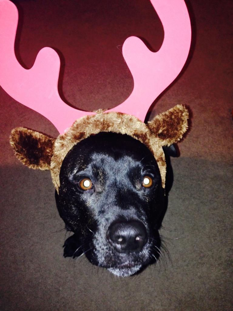 Lol first attempt at reindeer ears! 0806BA67-0766-463E-B923-0C742395E4B6