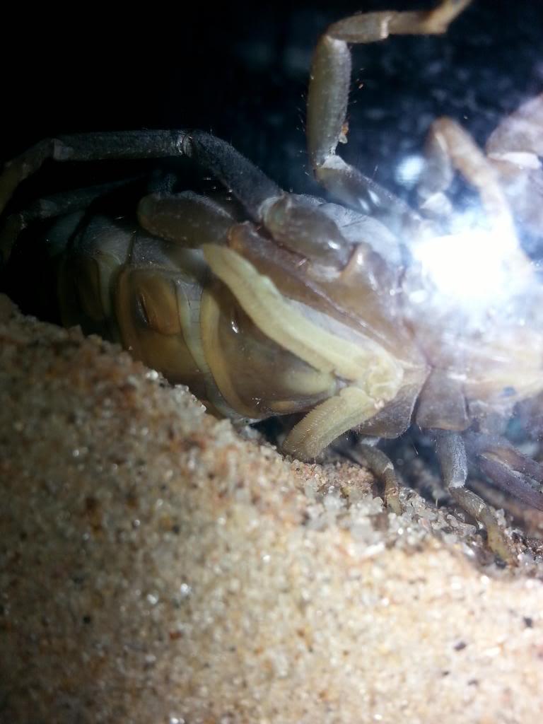 C. vittatus. My first brood! Yay! 20130623_211303