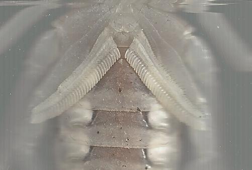 A. australis male? Aaustraliscloseup-1