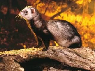 Ferret kits (baby ferrets) for sale Sableferret