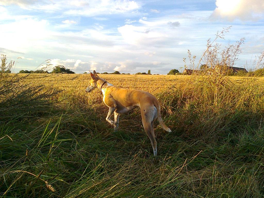 5. Best Sighthound Photo0148
