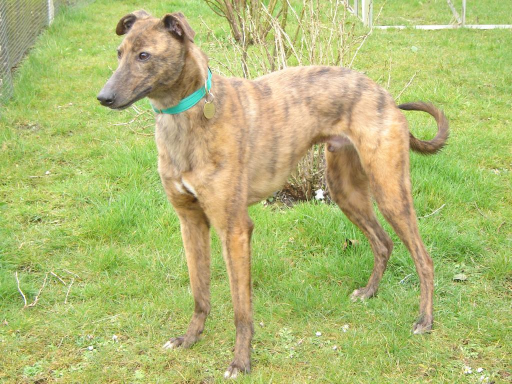 6. Best Happily Homed LSOS Hounds Iggy2006