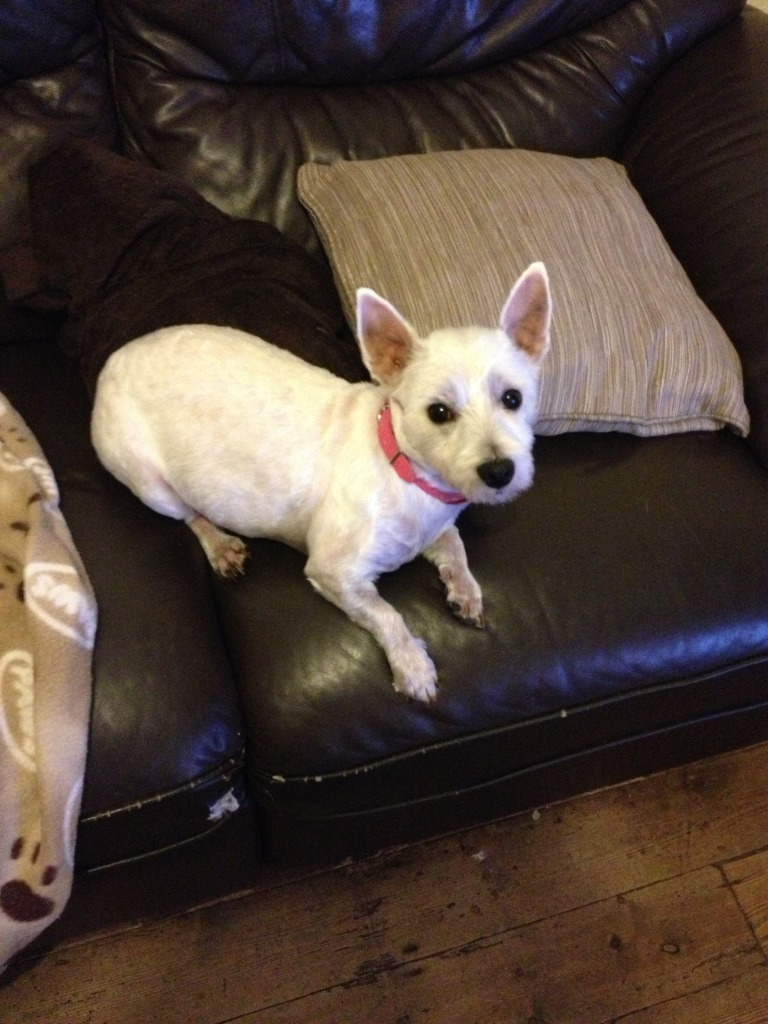 Jade - Pretty 3 year old West Highland Terrier - In Kent IMG_0112