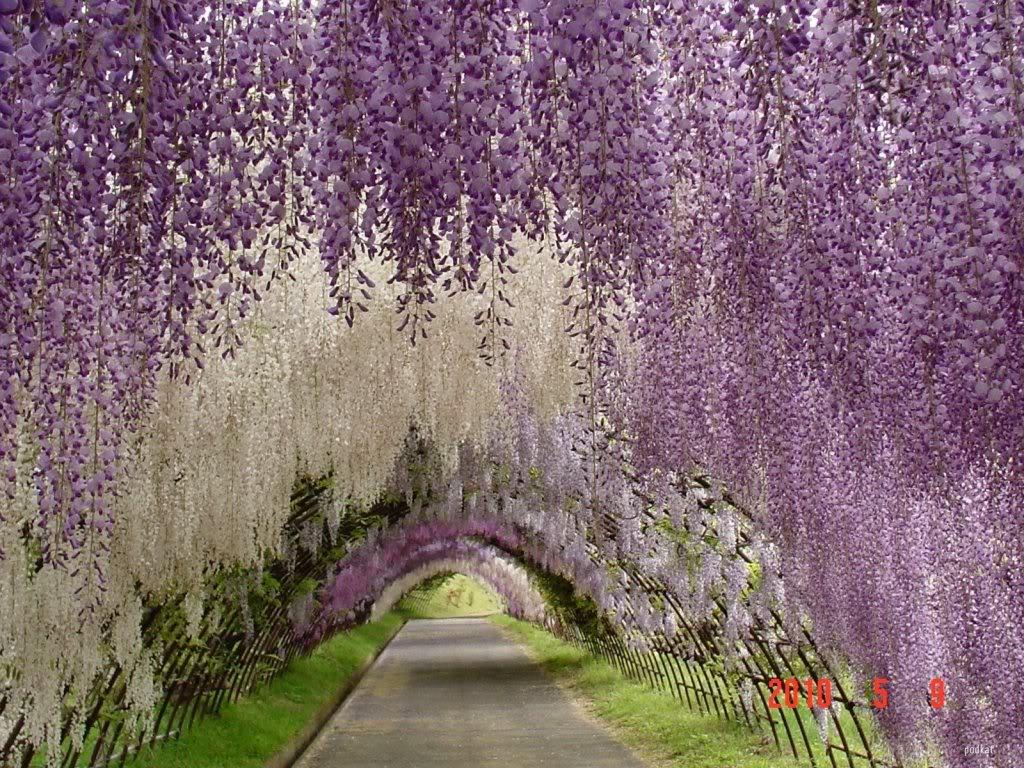 Θέλω μια φωτογραφία... - Σελίδα 6 Wisteria-Tunnel-7