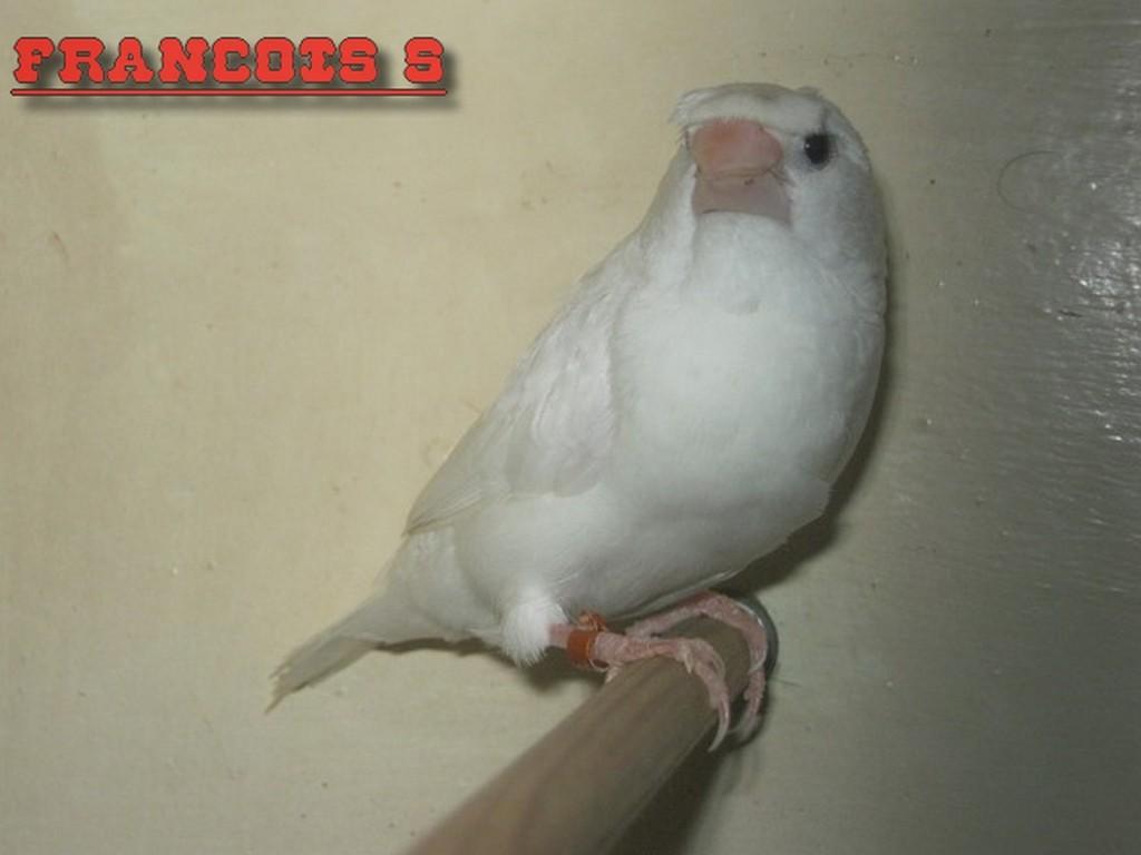 Blanc Huppé