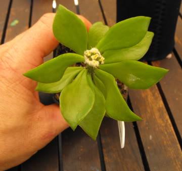Hi all new here  Astrophytum asteria seedlings on pereskiopsis or other stock? DSCF2006-4