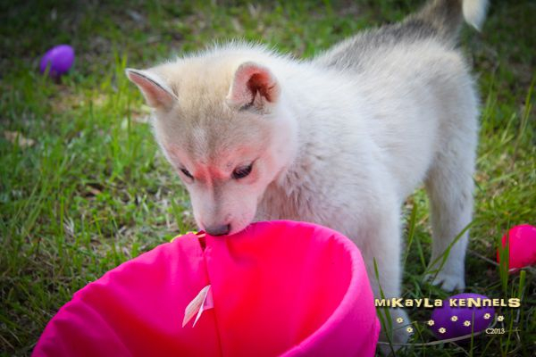 Kouda's Scrapbook Puppy_6Weeks_003_zps919b87f9