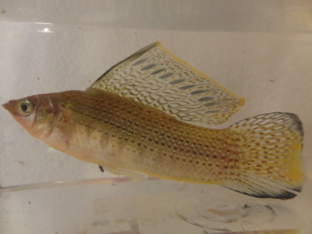 Anyone need some native fish? Wildsailfinmolly