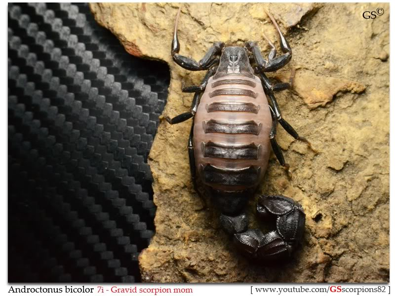 [Discussion] Androctonus spp. - Page 20 Androctonus_bicolor_7i_gravid_female_by_GSscorpions82_pic4