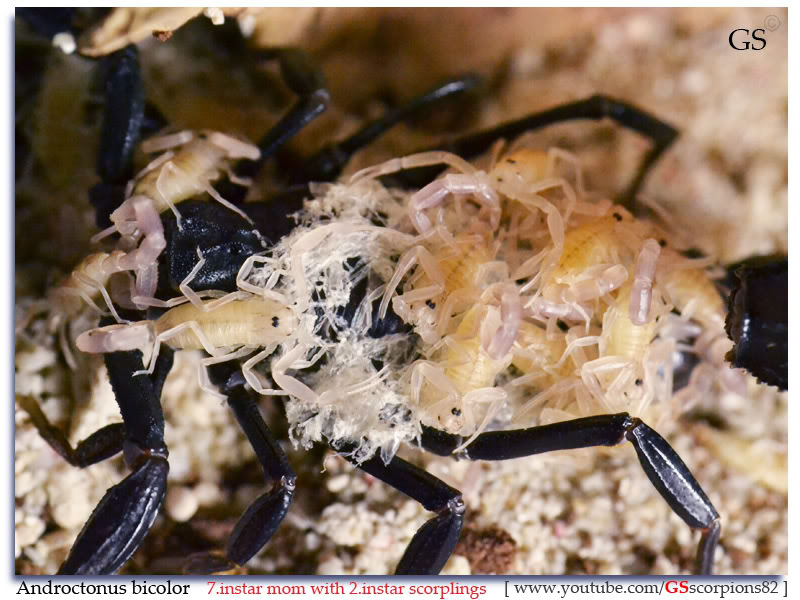 [ASA] Desert and Xeric Shrubland Scorpions' Caresheet Androctonus_bicolor_brood1_2i_by_GS_pic1
