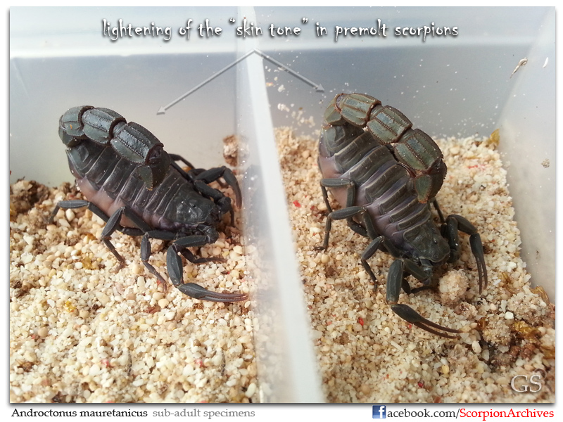 "[HOW TO]  What is ""MOLTING"" and ""PREMOLT"" in Scorpion Context Androctonus_mauretanicus_240413_pic2"