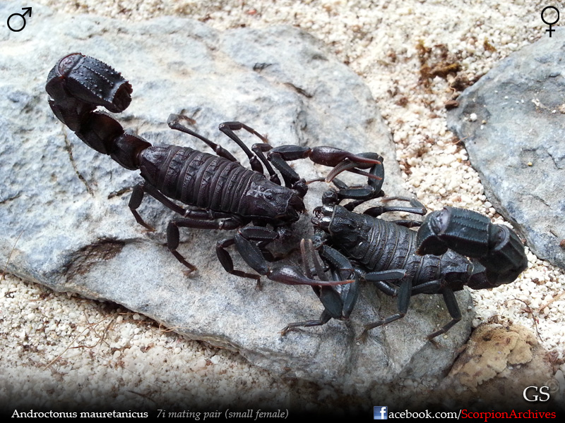 Androctonus mauretanicus Androctonus_mauretanicus_by_GS_20140519_pic2