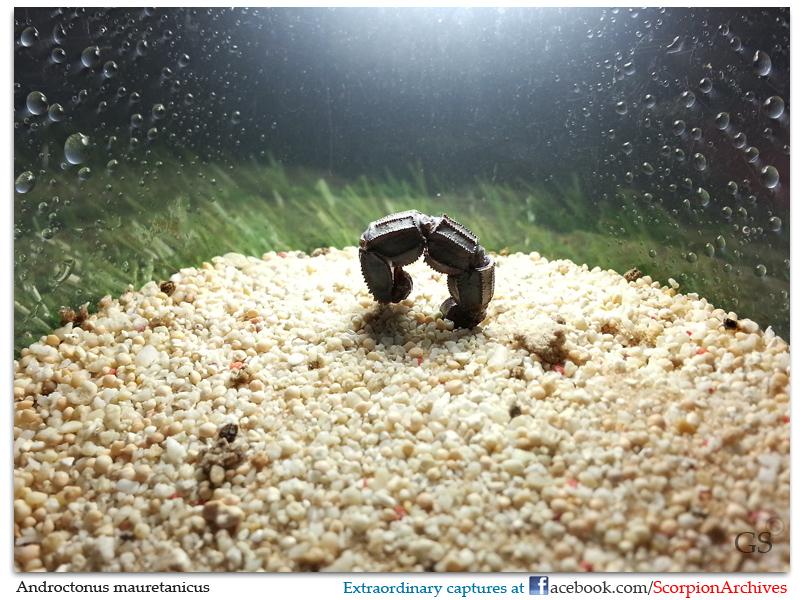 Capturing scorpion behavior Androctonus_mauretanicus_by_GS_310513