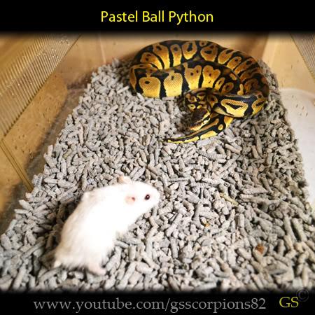 Royal/Ball Python thread (Python regius) - Page 7 1