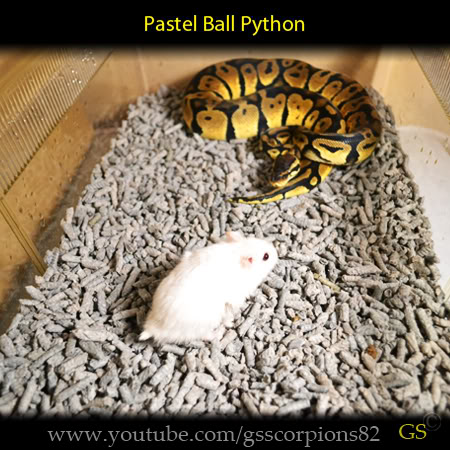 Royal/Ball Python thread (Python regius) - Page 7 2