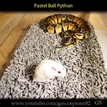 Royal/Ball Python thread (Python regius) - Page 7 3