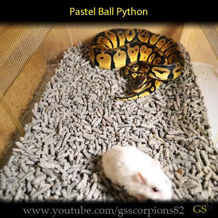 Royal/Ball Python thread (Python regius) - Page 7 4