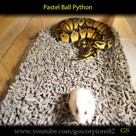 Royal/Ball Python thread (Python regius) - Page 7 5