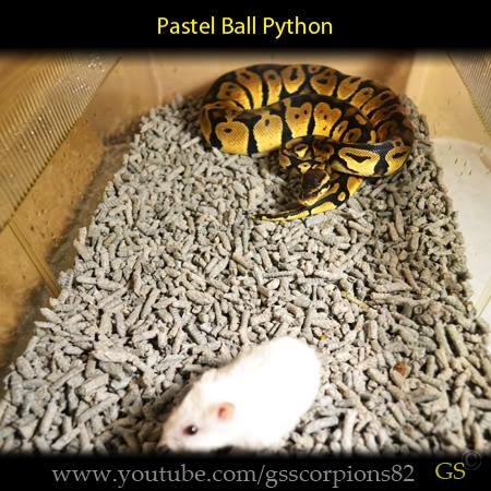 Royal/Ball Python thread (Python regius) - Page 7 6