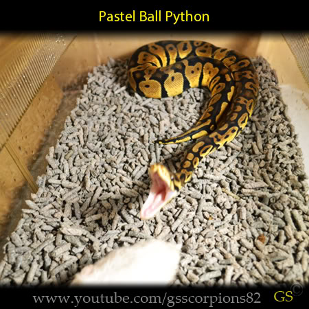 Royal/Ball Python thread (Python regius) - Page 7 7