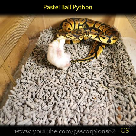 Royal/Ball Python thread (Python regius) - Page 7 8