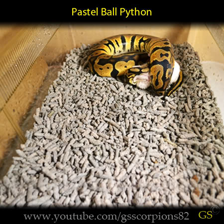 Royal/Ball Python thread (Python regius) - Page 7 9