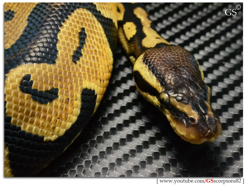 Royal/Ball Python thread (Python regius) - Page 4 Pastel_by_GSscorpions82_060312_pic11