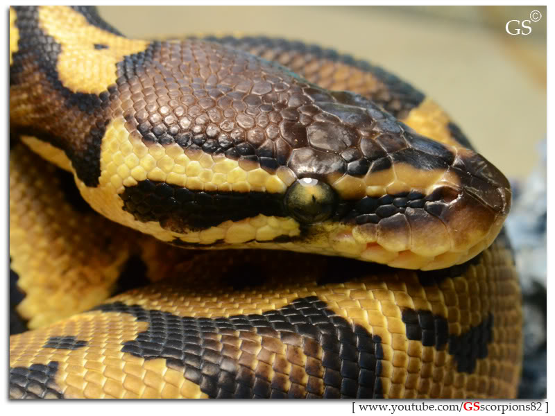 Royal/Ball Python thread (Python regius) - Page 4 Pastel_by_GSscorpions82_060312_pic13